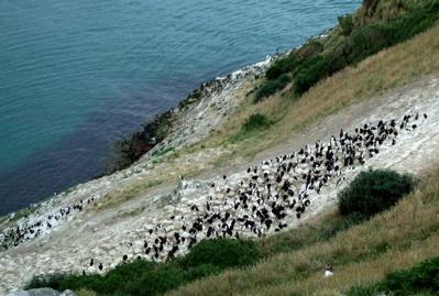 Albatross at Taiaroa Heads